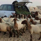 Flock of Sheep in the Range Rover 2014